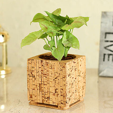 Syngonium Plant with Pot Online
