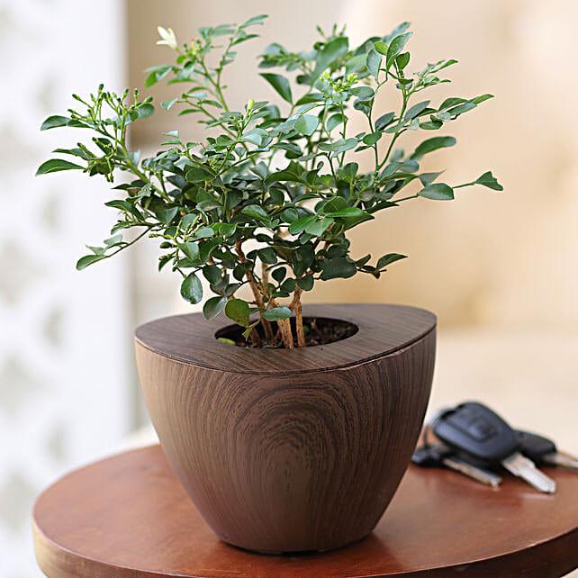 Online Murraya Plant:Wooden Planters
