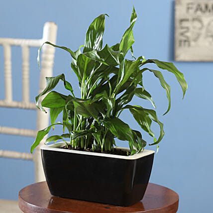 Online Peace Lily Plant:Peace Lily
