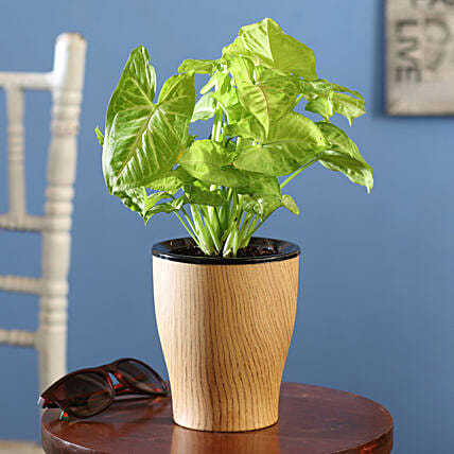 Syngonium Plant Online