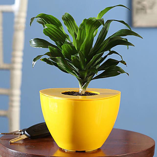 Dracaena Plant Online:Send Shrubs