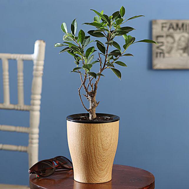 Ficus I Shape Plant Online