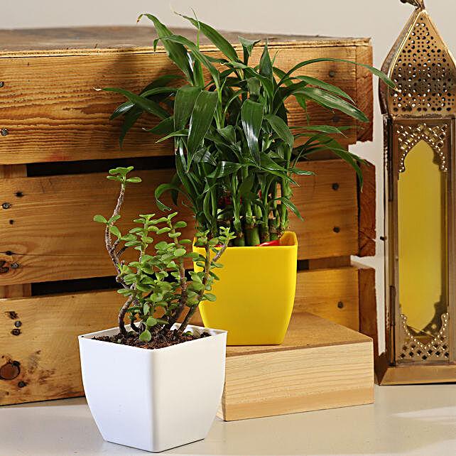 Jade Lucky Bamboo Plant Set