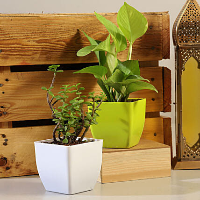 Jade Money Plant Set