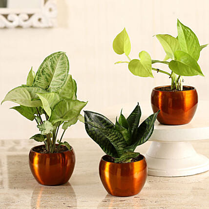 Online Money Plant With Sansevieria & Syngonium Combo:Metal Planters Delivery