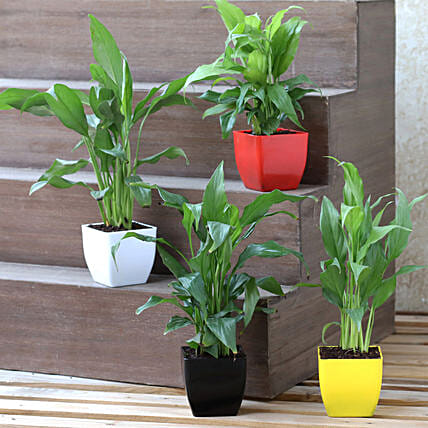 Peace Lily Plant Set in Colourful Pots