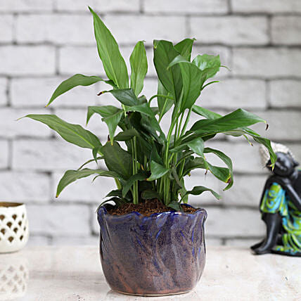 Online Red Peace Liliy Plant:Peace Lily