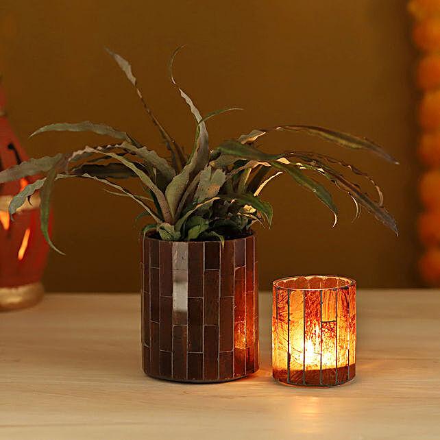Cryptanthus Plant Votive Combo:Good Luck Plants for Diwali
