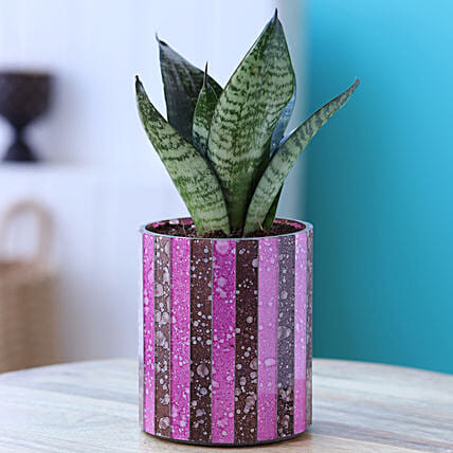 Green Sansevieria Plant In Mosaic Pot