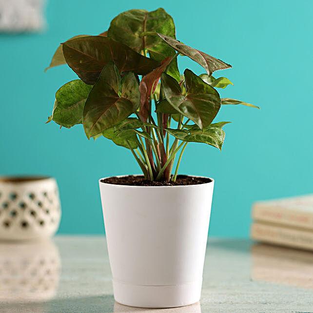 Pink Syngonium Plant In Self-Watering White Pot