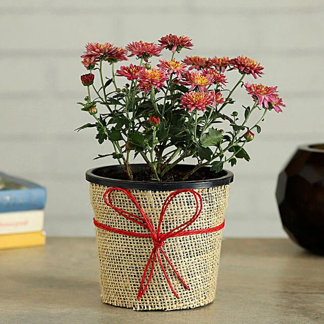 Flowering Guldaudi Plant