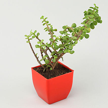 Jade Plant in Red Pot:New Arrival-gifts for Him