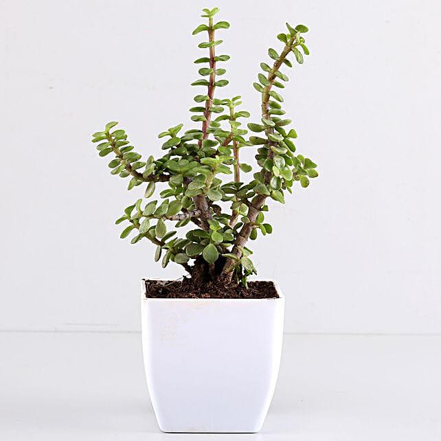 Beautiful Jade Plant in White Plastic Pot:Send Plants to Bhubaneshwar