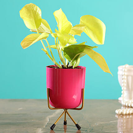 Golden Money Plant In Pink Table Pot