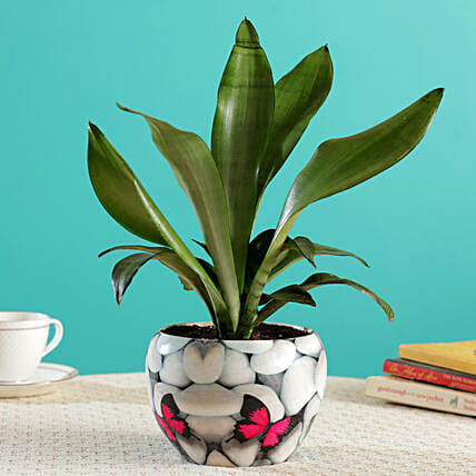 Silver Sansevieria Plant In Butterfly Printed White Pot