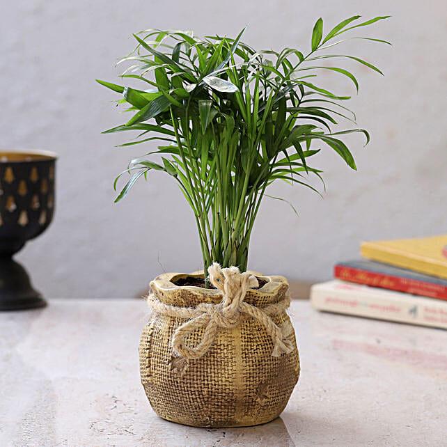 online chamaedorea plant in resin pot