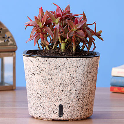 Red Campfire Succulent Plant In Self Watering Pot