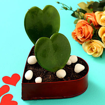 Hoya Plant In Red Heart Pot