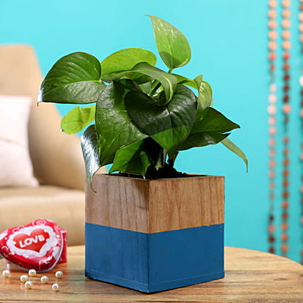 Money Plant Green In Blue And Wood Ash Square Pot:Air Purifying Plants
