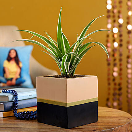 Spider Plant In Black And Light Brown Planter Pot