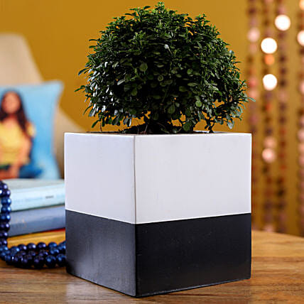 Table Kamini Plant In Black And White Planter