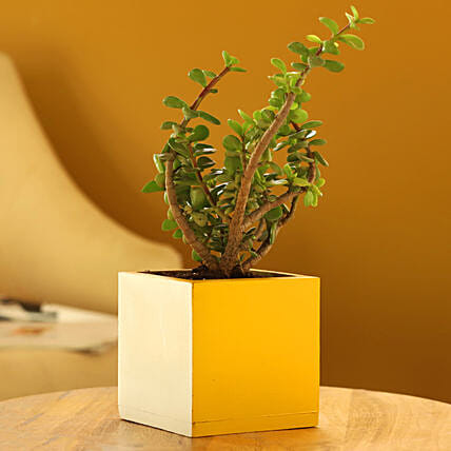 Jade Plant In Mango Wood Pot:Wooden Planters
