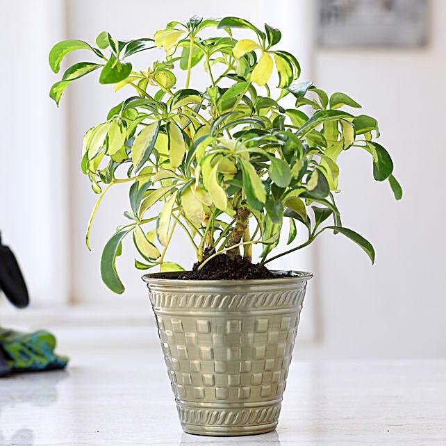 Schefflera Bonsai Plant In Brass Pot