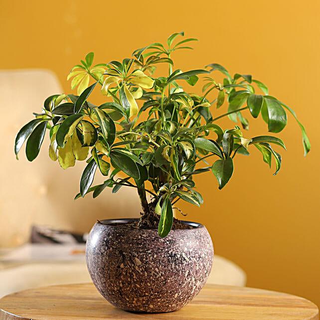 Schefflera Bonsai Plant In Stone Finish Metal Pot