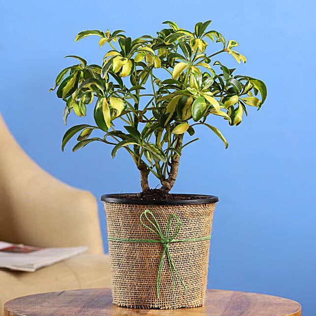 Schefflera Bonsai Plant In Black Nursery Plant Hand Delivery:Bonsai Plants