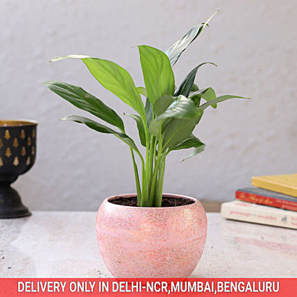 Peace Lily In Pink Powder Metal Pot Hand Delivery