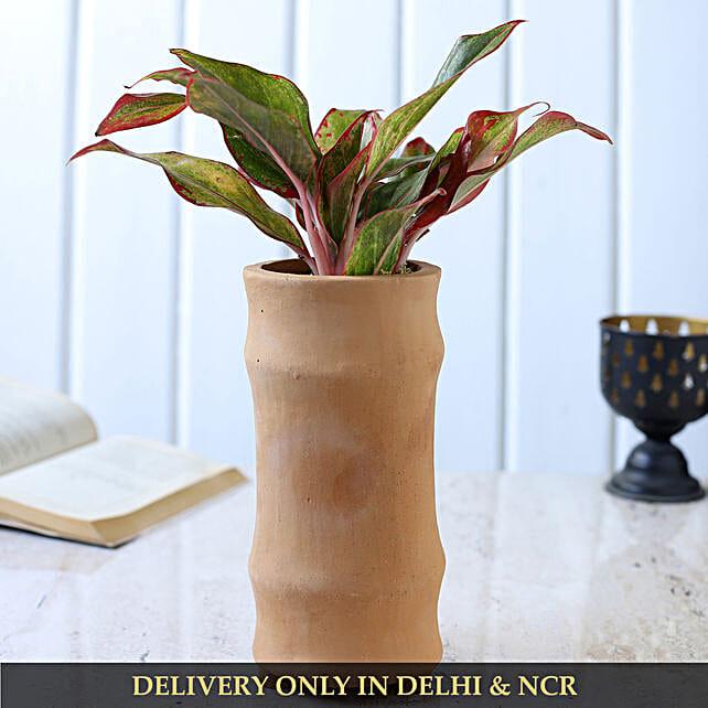 Pink Aglaonema Plant In Handmade Terracotta Planter