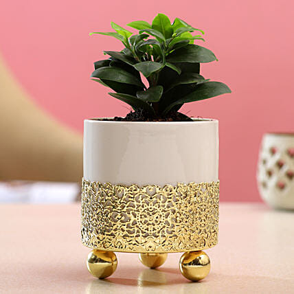 Ficus Compacta Plant In White Pot With Golden Stand:Planter Stands