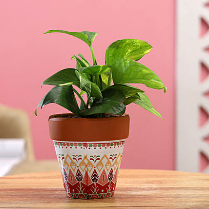 Money Plant In White Pink Ceramic Pot:Money Tree Plant Delivery