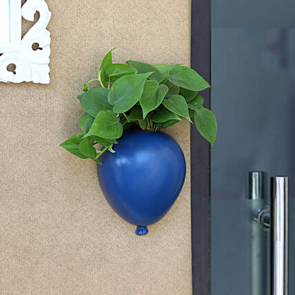 Oxycardium Plant In Blue Wall Hanging Planter