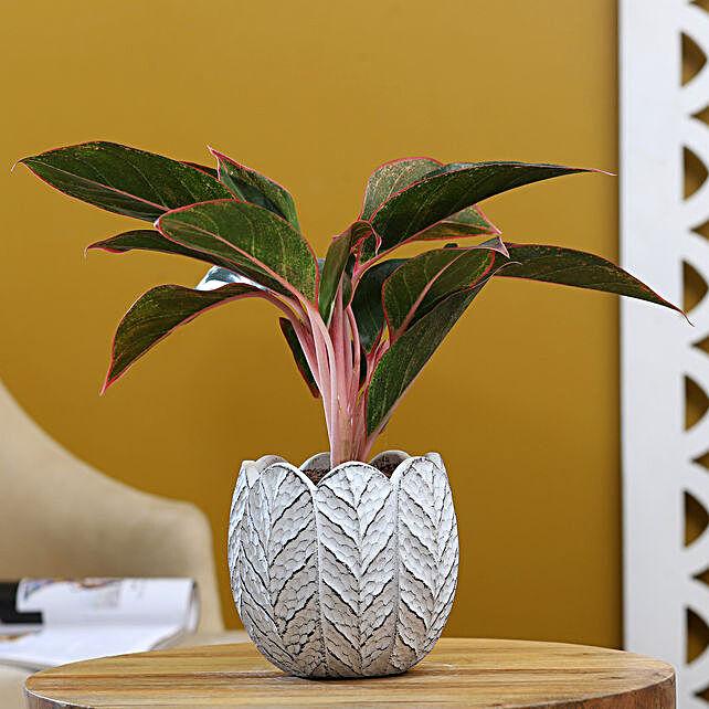 Red Aglaonema Plant In White Round Ceramic Pot