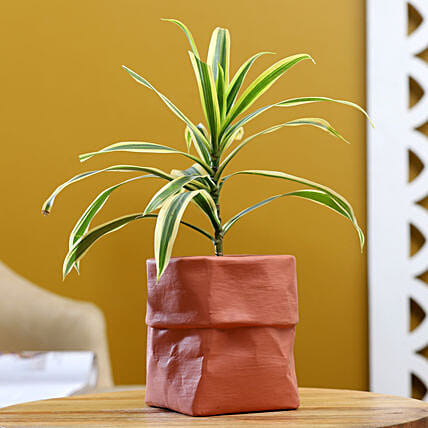 Song Of India Plant In Sack Shaped Pot:Ceramic Planters