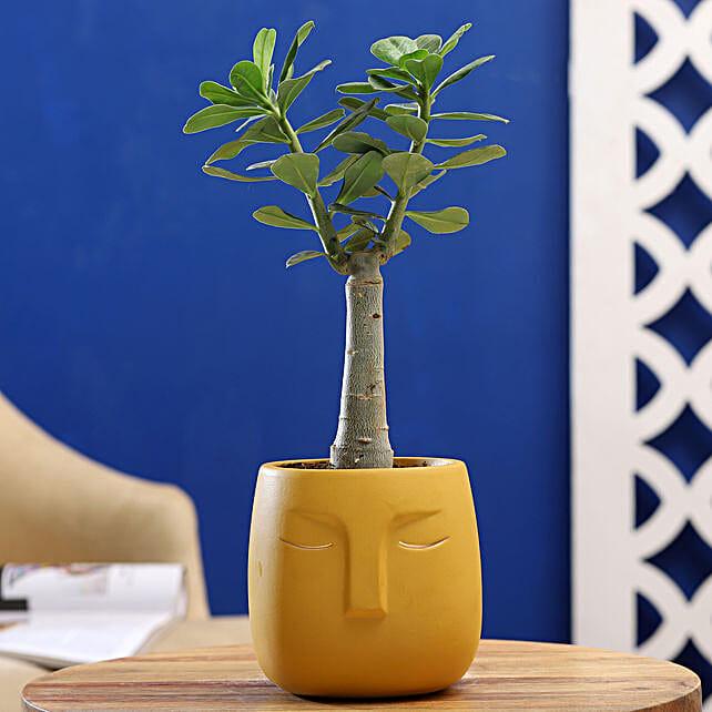 Adenium Desert Rose Plant In Yellow Face Pot