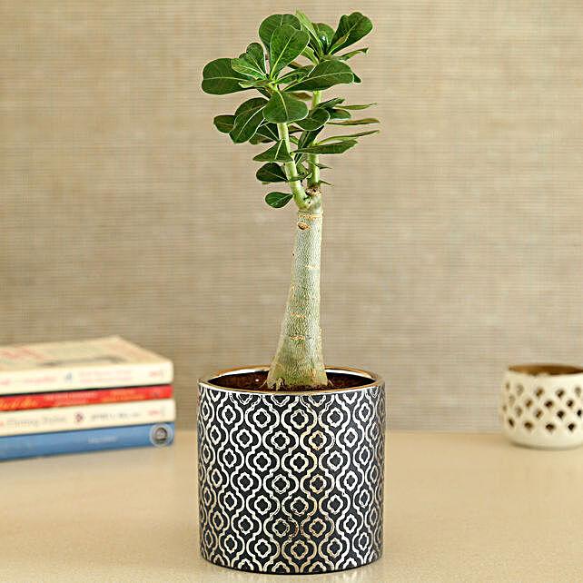 Adenium Desert Rose Plant In Silver Golden Pot