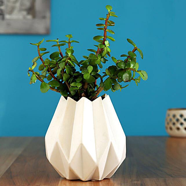 Jade Plant In White Conical Ceramic Pot