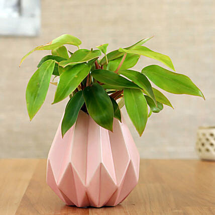 Red Philodendron Plant In Pink Conical Pot