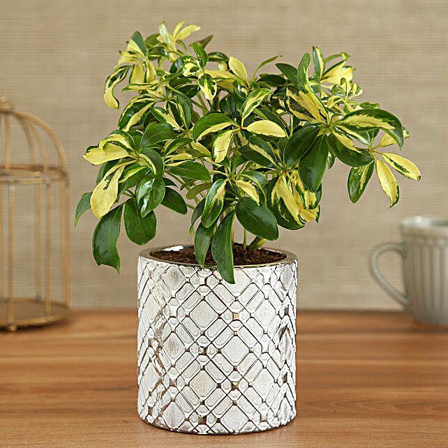 Schefflera Plant In Zigzag Cylindrical Ceramic Pot