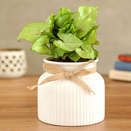 Syngonium Plant In White Lining Pot