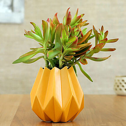 Red Campfire Plant In Yellow Conical Pot