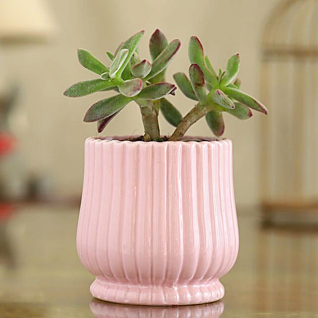 Echeveria Colorata Plant In Pink Round Lining Pot
