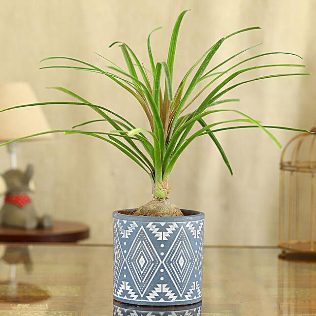 Nolina Palm Plant In Blue Pipe Shape Pot