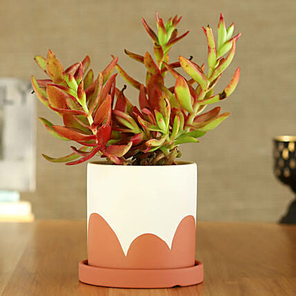Red Campfire Plant In Coral And Green Pot With Plate