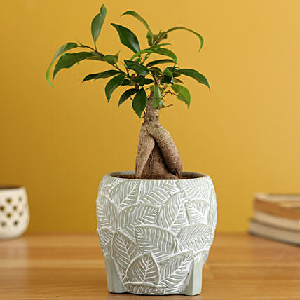 Ficus Trunk Plant In Leaves Embossed Planter:Bonsai Plants