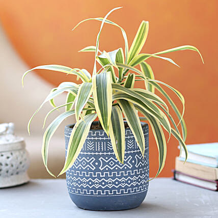 Song Of India Plant In Blue White Tribal Print Pot