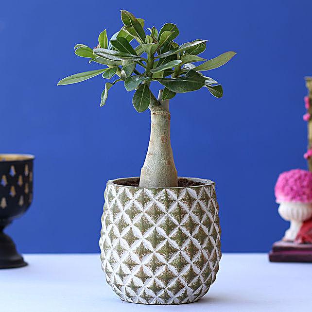 Adenium Desert Rose Plant In Beautiful Oval Planter