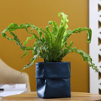 Bird Nest Fern Plant In Sack Shaped Pot